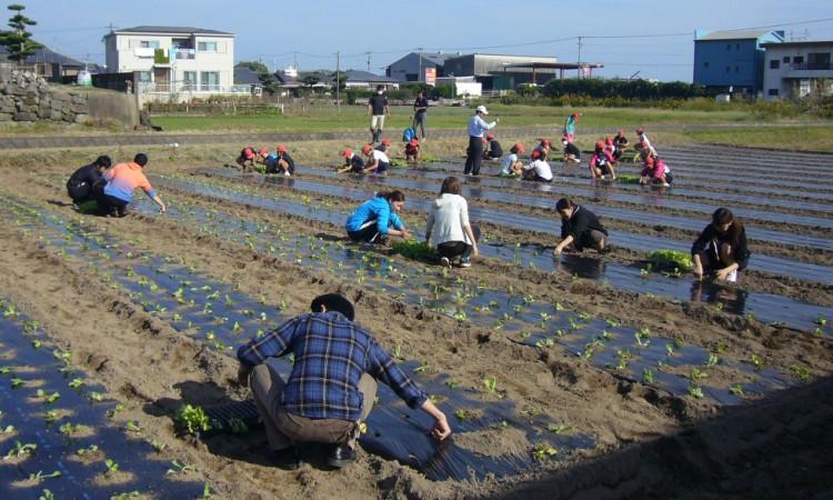 中名小学校6年生とレタスの苗を植えました。